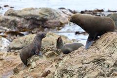 życia lwa s morze Fotografia Royalty Free