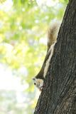 Życia wiewiórki Zdjęcia Stock