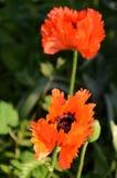 Życie Makowa kwiatu Turkenlouis czerwień, wysoce frędzlasty Zdjęcie Royalty Free
