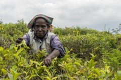 Życzliwa kobieta pracuje na herbacianej plantaci w Sri Lanka Obrazy Royalty Free