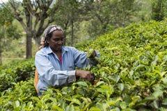Życzliwa kobieta pracuje na herbacianej plantaci w Sri Lanka Zdjęcia Royalty Free