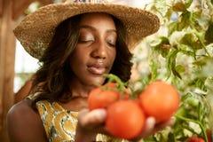 Życzliwa kobieta zbiera świeżych pomidory od szklarnia ogródu stawia dojrzałego lokalnego produkt spożywczy w koszu zdjęcie royalty free