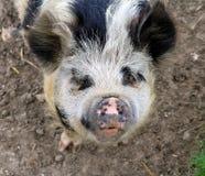 Życzliwa świnia Zdjęcia Royalty Free