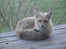 Życzliwi lisy McCall, Idaho Fotografia Stock