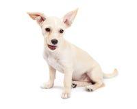 Życzliwy i Szczęśliwy chihuahua Crossbreed szczeniak Obraz Stock