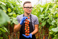 Życzliwy młody agronom sprawdza pomidory w szklarni Zdjęcie Stock