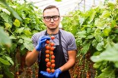 Życzliwy młody agronom sprawdza pomidory w szklarni Obrazy Stock