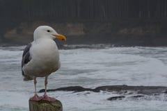 Życzliwy Seagull Fotografia Royalty Free