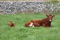 Łydka i krowa Fotografia Stock