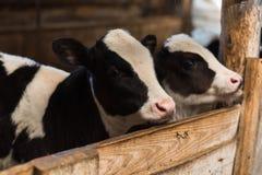 ?ydka na gospodarstwie rolnym W?rodku gospodarstwa rolnego jest ?liczna dziecko krowa zdjęcia stock