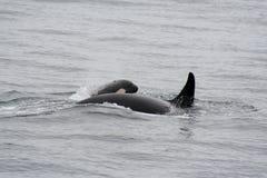 łydka zabójcy jej wieloryb Obrazy Royalty Free