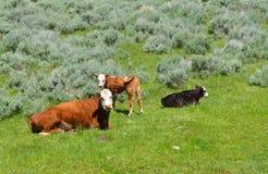 łydki krowa Zdjęcia Royalty Free