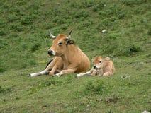 łydkowa krowa Zdjęcia Stock
