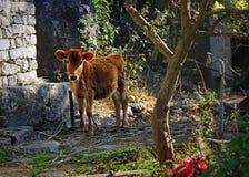 Łydkowa krowa w dalekim Himalajskim plemieniu Zdjęcie Royalty Free