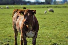 Łydkowe krowy Fotografia Royalty Free