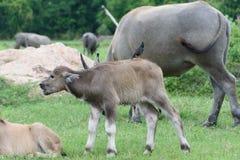 Łydkowy bizon Zdjęcie Stock