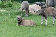 Łydkowy bizon Zdjęcie Royalty Free