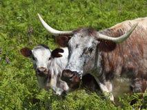 łydkowy krowy anglików longhorn Zdjęcie Royalty Free