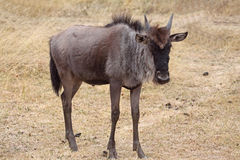 łydkowy wildebeest Obrazy Royalty Free