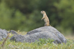 Ye shall go no further. Prairie dog standing lookout on huge boulder Royalty Free Stock Photos