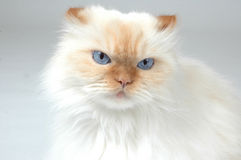 Yeah, whatever!. Cat gives a irritated expression. Lexus the Cat Royalty Free Stock Image