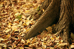 Yeallow Autumn leaves under the trees Stock Photos