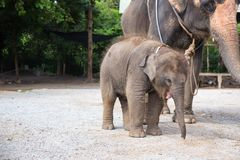 1 year baby Asian elephant with mother stock photo