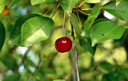 Year cherry Stock Images