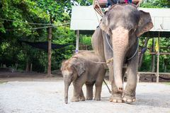 1 year baby Asian elephant with mother royalty free stock photography