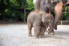 1 year baby Asian elephant with mother royalty free stock images