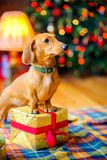 Year of the dog. A beautiful little dog of the Dachshund breed, sits on the floor near the festive garlands Royalty Free Stock Photos