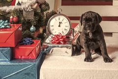 Year of dog, holiday celebration. Cane corso puppy at Christmas tree and present box. New year, cute puppy at clock. Pet and animal, dog year, gift. Boxing day royalty free stock image
