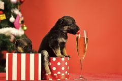 Year of dog, holiday celebration with champagne in wine glass. Santa puppy at Christmas tree in present box. Dog year, pet on red background. New year puppy at royalty free stock images
