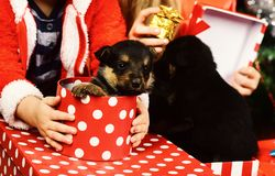 Year of dog, holiday celebration. Dogs in present box. In kids hands. New year, puppies in gift box with polka dot. Pet and animal, dog year, gift concept royalty free stock photo