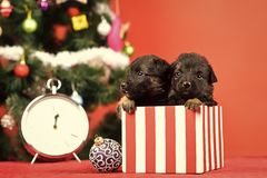 Year of dog, holiday celebration. Santa puppy at Christmas tree in present box. Dog year, pet and animal on red background. New year, cute puppy gift at clock stock photo