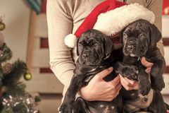 Year of dog, holiday celebration. New year, cute puppy at female hand. Pet and animal, dog year, gift. winter party. Cane corso puppy at Christmas tree royalty free stock photos