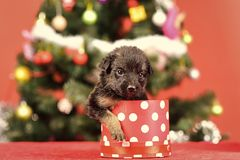 Year of dog, holiday celebration. Santa puppy at Christmas tree in present box. New year, cute puppy gift. Dog year, pet and animal on red background. Boxing royalty free stock images