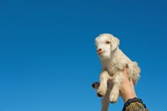 Year of goat Royalty Free Stock Photography