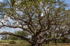 1000 Year old Big Tree. An Oak tree that is over 1000 years old in Goose Island State Park, Texas Royalty Free Stock Photo