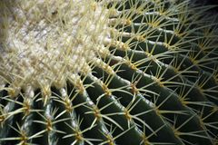 50 year old Golden Barrel Cactus royalty free stock image
