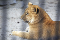 Year-old liger in the aviary. Novosibirsk Zoo. Russia Stock Photo