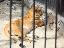 Year-old liger in the aviary. Novosibirsk Zoo. Russia Royalty Free Stock Photos