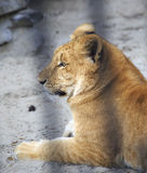 Year-old liger in the aviary. Stock Photos
