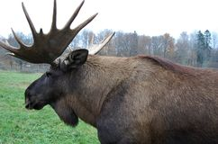 A nine-tagged moose. This 9 year old moose named Holger is in a wild hanger Stock Photos