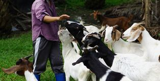 3-year-old mother goat and Herdsman Stock Photography