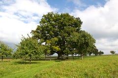 1000 year old oak Stock Image
