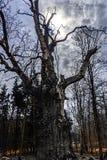 1000 year old oak in dramatic scene Royalty Free Stock Photo
