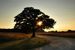 THe 100 year old Oak Tree Stock Photo