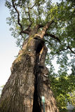 500 year old oak, which survived several lightning strikes in Jaszczurowa. Poland Stock Photography