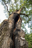 500 year old oak, which survived several lightning strikes in Jaszczurowa. Royalty Free Stock Photo